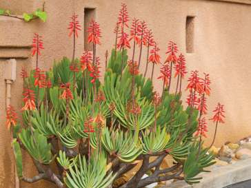 Aloe-plicatilis-Fan-Aloe6