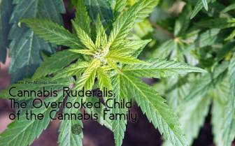 Cannabis-Ruderalis-The-Overlooked-Child-of-the-Cannabis-Family.jpg